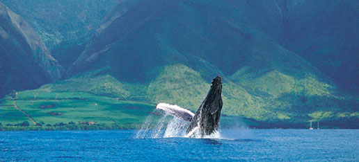 Breeching Humpback