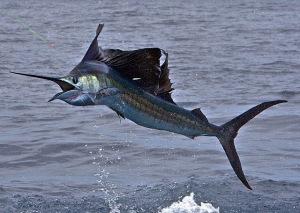 1sailfish_jumping